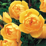 バター・カップ裸苗 - Buttercup (Ausband) - david-austin-roses-japan