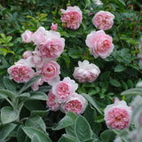 ワイルドイブ裸苗 - Wildeve (Ausbonny) - david-austin-roses-japan