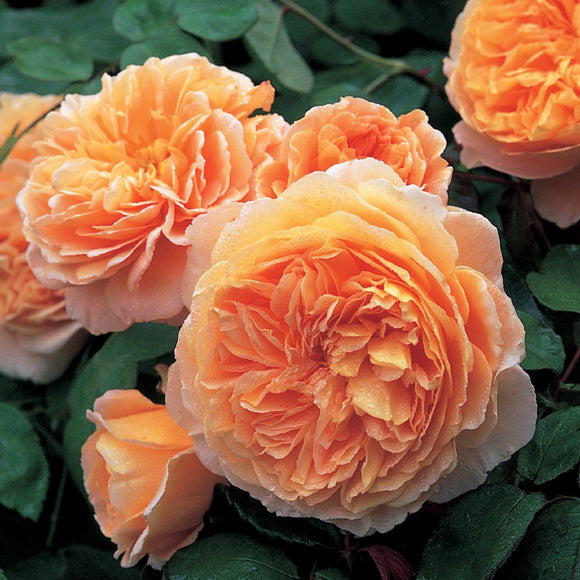 クラウン・プリンセス・マルガリータ つる裸苗 - Crown Princess Margareta Climbing (Auswinter) - david-austin-roses-japan