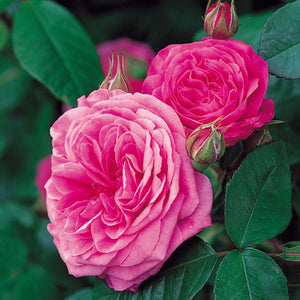 ガートルード・ジェキル 15L鉢苗 - Gertrude Jekyll Potted 15L (Ausbord) - david-austin-roses-japan