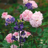 ローズムーア裸苗 - Rosemoor (Austough) - david-austin-roses-japan
