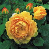 ゴールデン・セレブレーション 鉢苗 - Golden Celebration Potted (Ausgold) - david-austin-roses-japan