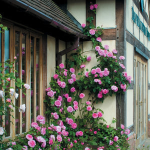 ガートルード・ジェキル 鉢苗 - Gertrude Jekyll Potted (Ausbord) - david-austin-roses-japan