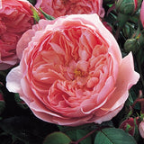 ジ・アレンウィック・ローズ 鉢苗 - The Alnwick® Rose (Ausgrab) - david-austin-roses-japan