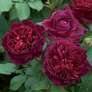 ムンステッド・ウッド裸苗 - Munstead Wood (Ausbernard) - david-austin-roses-japan