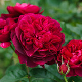 ダーシー・バッセル 鉢苗 - Darcey Bussell Potted(Ausdecorum) - david-austin-roses-japan