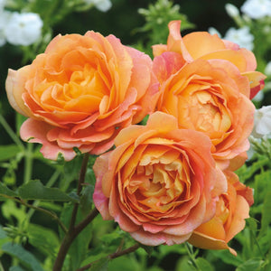 レディ・オブ・シャーロット裸苗 - Lady of Shalott (Ausnyson) - david-austin-roses-japan