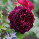 ムンステッド・ウッド 鉢苗 - Munstead Wood (Ausbernard) - david-austin-roses-japan
