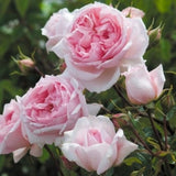ザ・ウェッジウッド・ローズつるばら裸苗 - The Wedgwood Rose Climbing (Ausjosiah) - david-austin-roses-japan