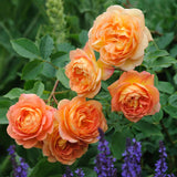 レディ・オブ・シャーロット鉢苗 - Lady of Shalott (Ausnyson) - david-austin-roses-japan