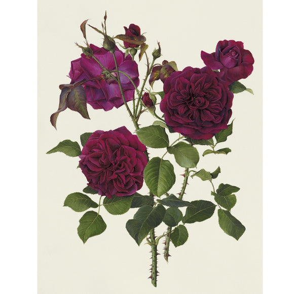 「ムンステッド・ウッド」限定版画 - 'Munstead Wood' Limited Edition Print - david-austin-roses-japan