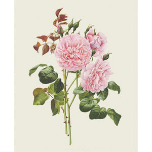 「ストロベリー・ヒル」 限定版画 - 'Strawberry Hill' Limited Edition Print - david-austin-roses-japan