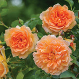 デイム・ジュディ・デンチ裸苗 - Dame Judi Dench (Ausquaker) - david-austin-roses-japan