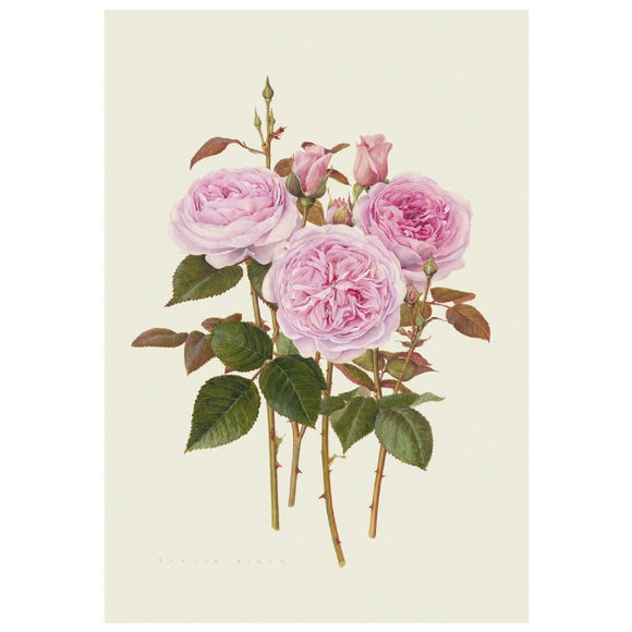 「オリビア・ローズ・オースチン」 限定版画 - 'Olivia Rose Austin' Limited Edition Print - david-austin-roses-japan