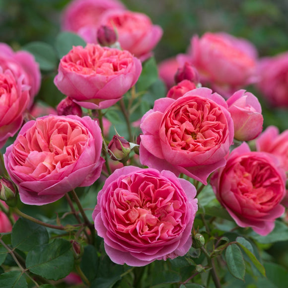 ボスコベル裸苗 - Boscobel (Auscousin) - david-austin-roses-japan