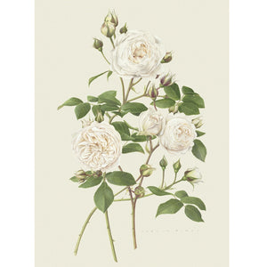 「クレア・オースチン」限定版画 - 'Claire Austin' Limited Edition Print - david-austin-roses-japan