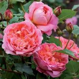 ボスコベル鉢苗 - Boscobel Potted (Auscousin) - david-austin-roses-japan