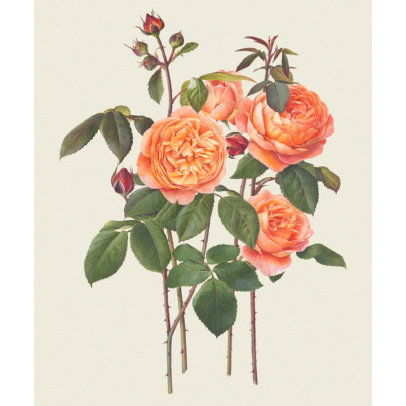 「レディ・エマ・ハミルトン」限定版画 - 'Lady Emma Hamilton' Limited Edition Print - david-austin-roses-japan