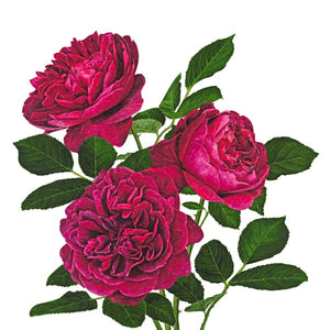 「ダーシー・バッセル」限定版画 - 'Darcey Bussell' Limited Edition Print - david-austin-roses-japan