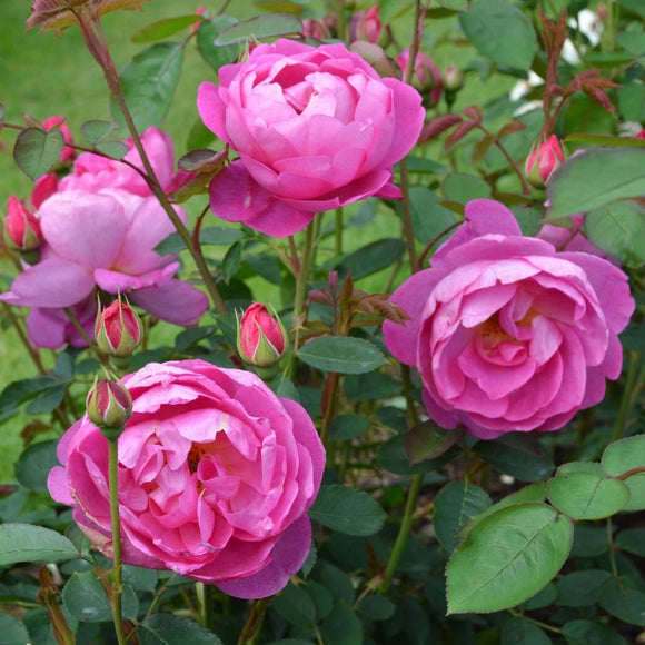 ロイヤル・ジュビリー  鉢苗 - Royal Jubilee (Auspaddle) - david-austin-roses-japan