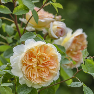 バスシーバ裸苗 - Bathsheba (Auschimbley) - david-austin-roses-japan