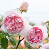 ザ・ウェッジウッド・ローズ つるバラ鉢苗 - The Wedgwood Rose Climbing Potted (Ausjosiah) - david-austin-roses-japan