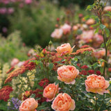 レディ・オブ・シャーロット15L鉢苗 - Lady of Shalott 15L (Ausnyson) - david-austin-roses-japan