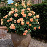 レディ・オブ・シャーロットつるバラ鉢苗 - Lady of Shalott Potted Climbing (Ausnyson) - david-austin-roses-japan