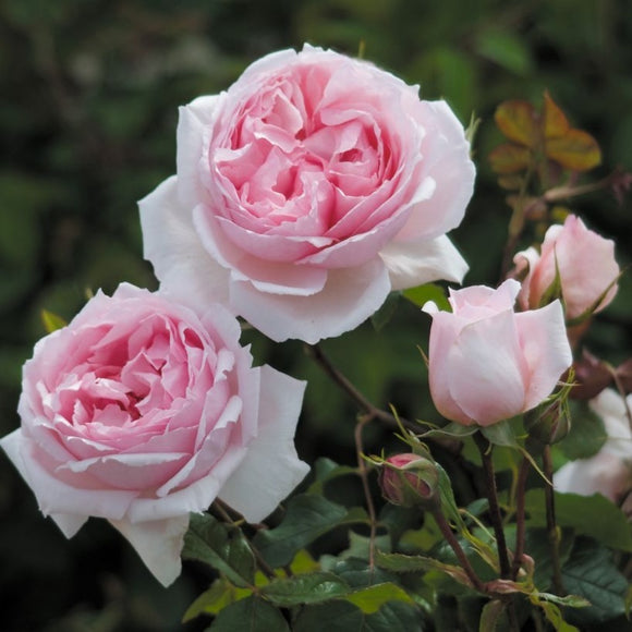 ザ・ウェッジウッド・ローズ つるバラ15L鉢苗 - The Wedgwood Rose Climbing Potted 15L (Ausjosiah) - david-austin-roses-japan