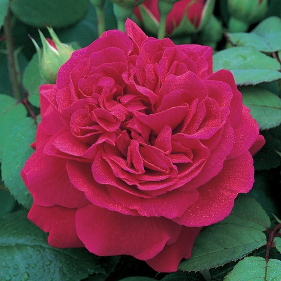 テス・オブ・ザ・ダーバービルズ つるバラ15L鉢苗 - Tess of The d'Urbervilles Climbing 15L (Ausmove) - david-austin-roses-japan