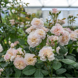 エミリー・ブロンテ 15L鉢苗 - Emily Brontë Potted 15L (Ausearnshaw) - david-austin-roses-japan