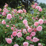 ストロベリー・ヒルつるバラ15L鉢 - Strawberry Hill Potted 15L CLG (Ausrimini) - david-austin-roses-japan