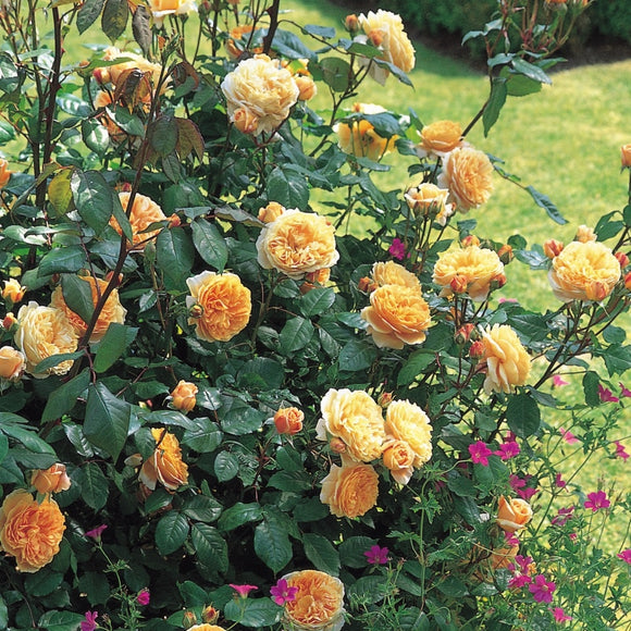 クラウン・プリンセス・マルガリータ つるバラ鉢苗 - Crown Princess Margareta Climbing Potted (Auswinter) - david-austin-roses-japan