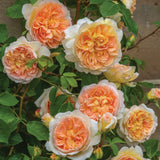 バスシーバ つるバラ鉢苗 - Bathsheba Climbing Potted (Auschimbley) - david-austin-roses-japan