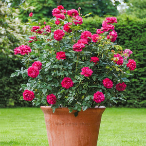 ダーシー・バッセル 鉢苗 - Darcey Bussell Potted(Ausdecorum)