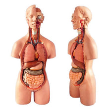 Load image into Gallery viewer, 4D Anatomical Assembly Model of Human Organs