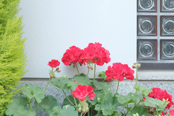 Uses and Benefits of Rose Geranium
