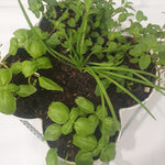 Organic Herbs in Stackable Pots