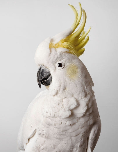 'Slim' Sulphur-Crested Cockatoo