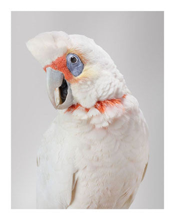 'Bob' Long-billed Corella