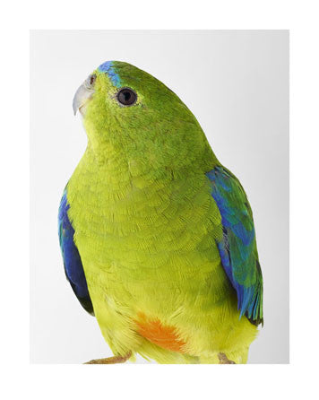 'Blue' Orange-bellied Parrot