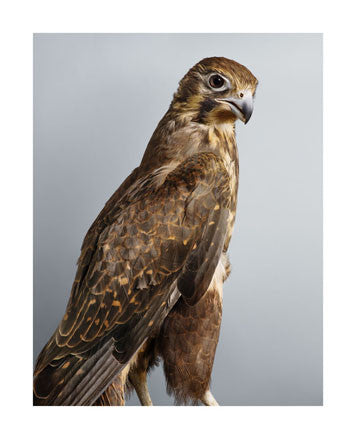 'Darcy' Brown Falcon