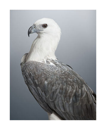 'Dexter' White-bellied Sea Eagle