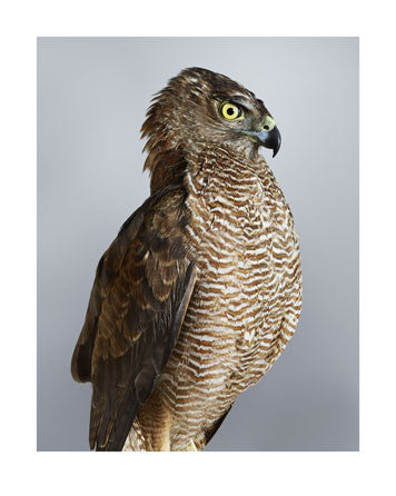 'Trinity' Brown Goshawk