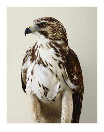 'Drifter No. 1' Broad-winged Hawk