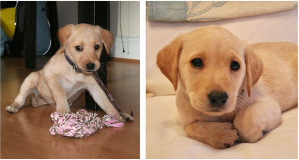 Labrador Puppy Charlie for Charity
