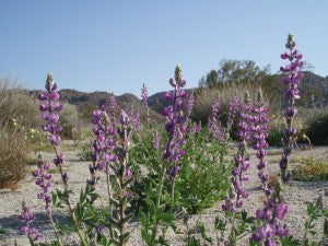 Arizona Lupine Flower Essence