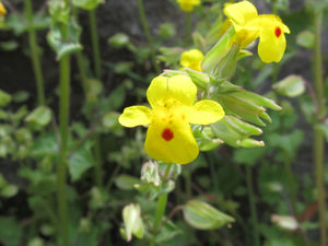 Western Mimulus - Initiating Action