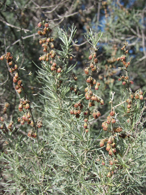 California Sagebrush Flower Essence