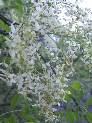 California Ash Flower Essence